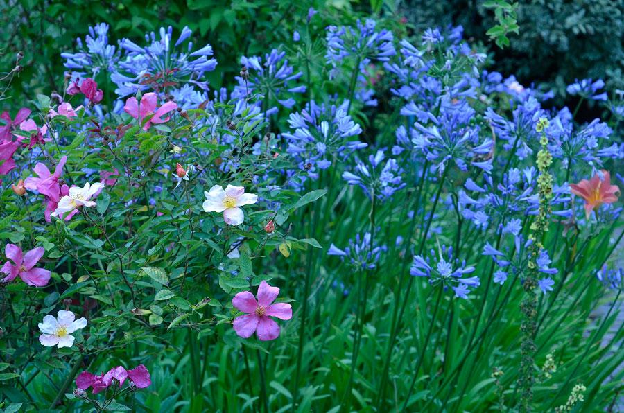 Agapanthus gillar liksom rosor rosgödsel. Foto: Kerstin Engstrand