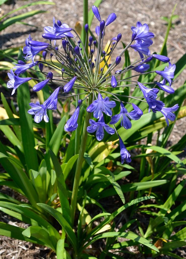 Jacaranda är en tidigblommande sort, blommar i regel redan i slutet av juni. Foto: Kerstin Engstrand