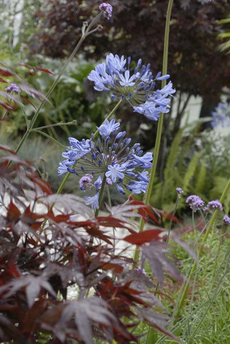 Afrikas blå lilja är som gjord att få titta upp bland andra växter. Foto: Kerstin Engstrand