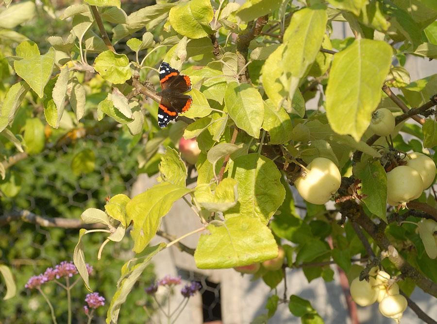 En amiral skymtar uppe i äppelträdet. Foto: Kerstin Engstrand