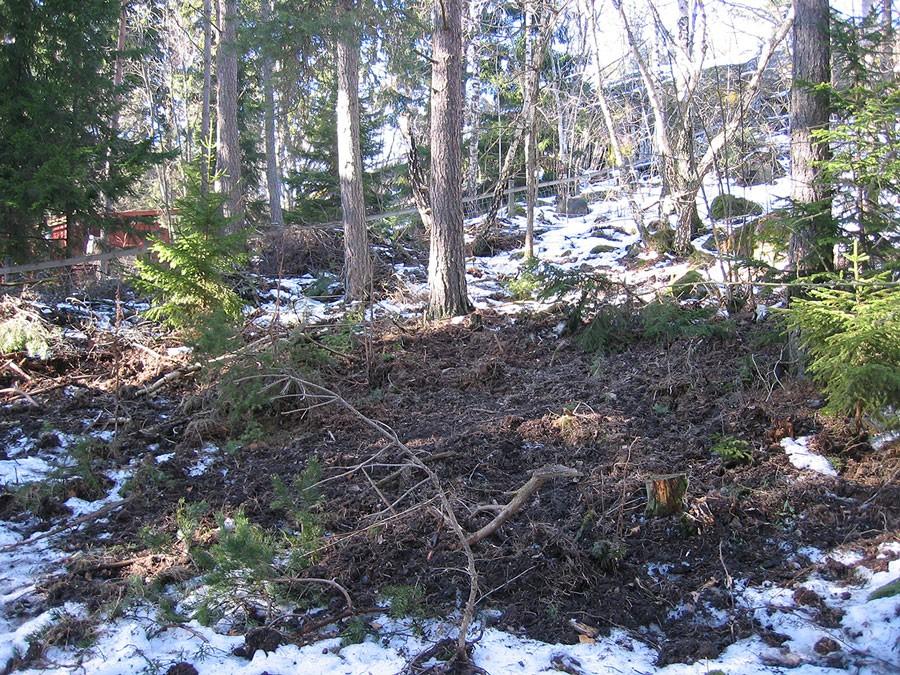 Även under vintern letar de mat. Här syns det tydligt hur de bökat runt i marken utanför Trosa. Foto: Kerstin Engstrand