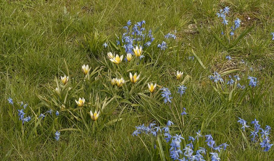 Blommande gräsmatta. Foto: Kerstin Engstrand