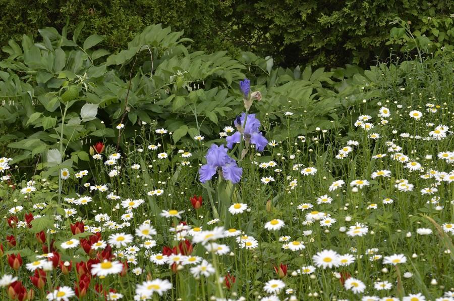 Sommartulpanen trivs även med iris. Här i irisexperten  Alan McMurtrie:s trädgård i Kanada. Foto: Kerstin Engstrand