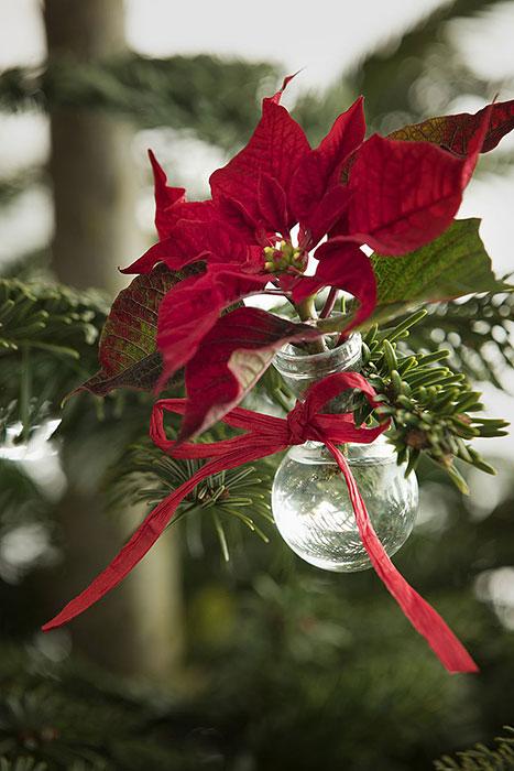 Med sina stjärnformade högblad sprider julstjärnor julstämning. Här har en stjärna placerats i en liten glödlampsformad vas och hänger i en julgran, förstås! Foto: Blomsterfrämjandet/Stars for Europe