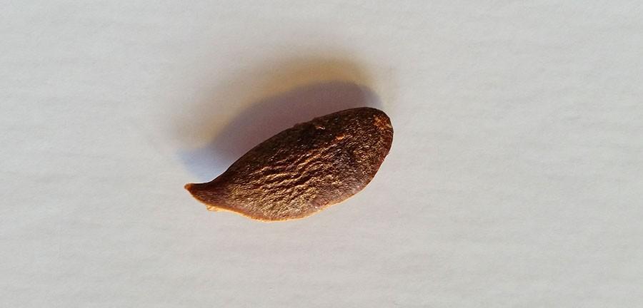 Kärna från kakifrukt. de brukar gro bra.  Foto: Kerstin Engstrand