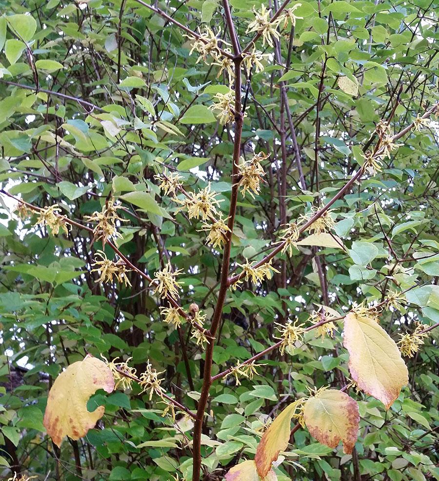 Det händer att trollhasseln till och med blommar i oktober, för att sedan återkomma med ännu en blomning när vintern är på väg att bli vår. Foto: Kerstin Engstrand