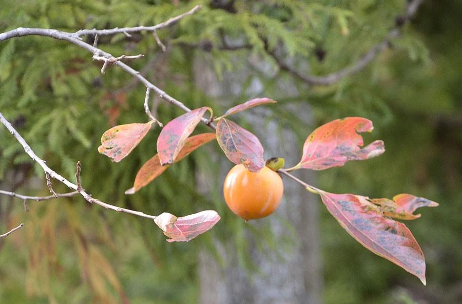 Bladen får nästan samma höstfärger som körsbärsträd. Foto: Kerstin Engstrand