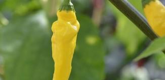 hot lemon dragbild