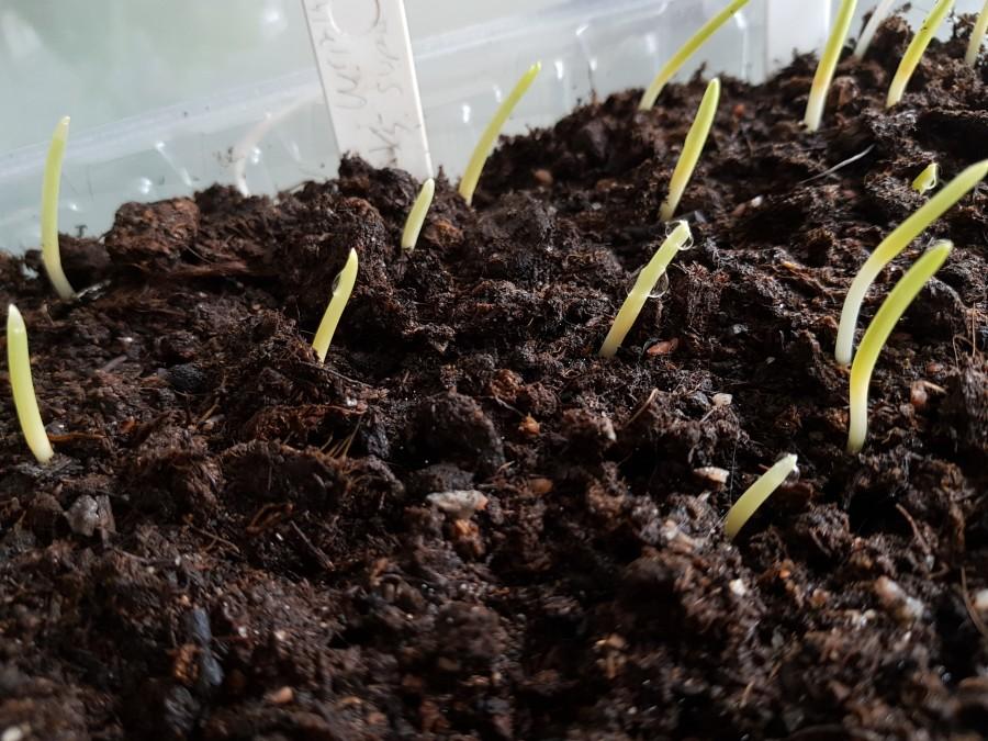 Små piggar tittar fram, majsen börjar gro! Foto: Kerstin Engstrand