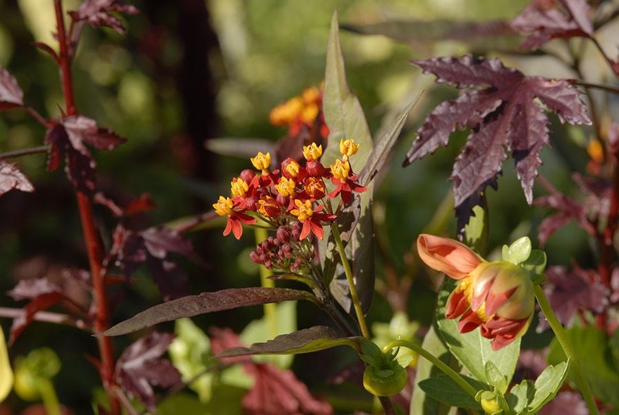 Röd eller orange sidenört är tillåten att odla. Foto: Kerstin Engstrand