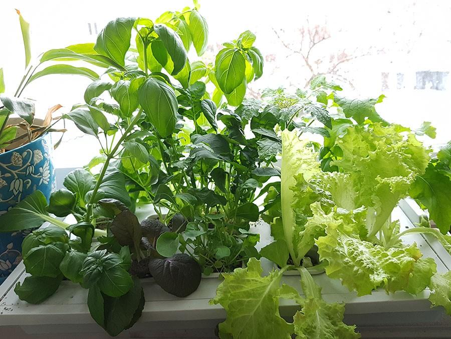 5, 5 vecka efter sådd! Bilden visar odlingen i Ikeas set.  Foto: Kerstin Engstrand