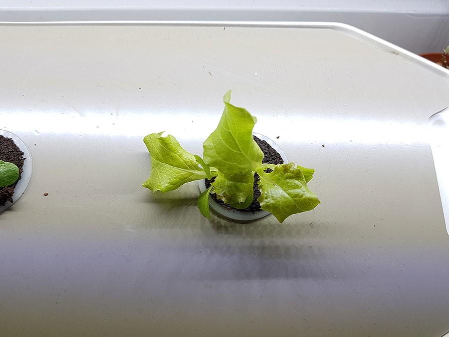 Sallaten i Harvy börjar växa till sig, bilden är tagen 14 dagar efter sådd.  Foto: Kerstin Engstrand