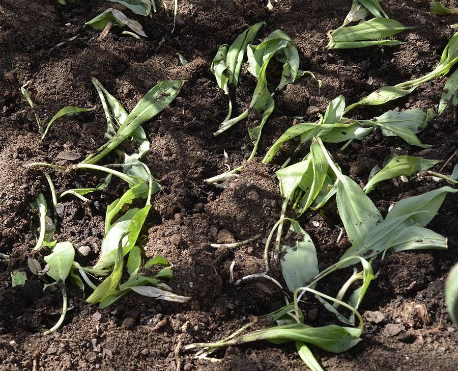 Nyplanterade, de repar sig snabbt! Foto: Kerstin Engstrand