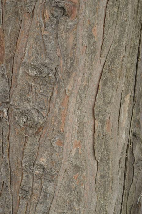 Barken tillhör en ädelcypress som växt sig ståtlig i Bergianska trädgården i Stockholm. Foto: Kerstin Engstrand