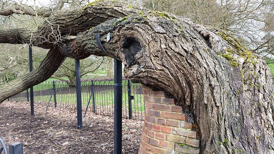 Detta är ett lejon, ett riktigt gammalt lejon, lejonträd kallas de riktigt gamla träden i Kew botaniska trädgård i Londons utkant. Och gammalt är det, detta pagodträd är från 1760-talet då det importerades från Kina till Kew. Med lite stöd står den där än idag. Behöver jag säga att besökarna flockas runt det? Det väcker beundran. Vilken kraft! Foto: Kerstin Engstrand