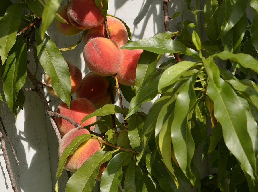 Närmast husväggen brukar skörden bli som störst.  De solmogna persikorna lyser som guld!  Foto: Kerstin Engstrand