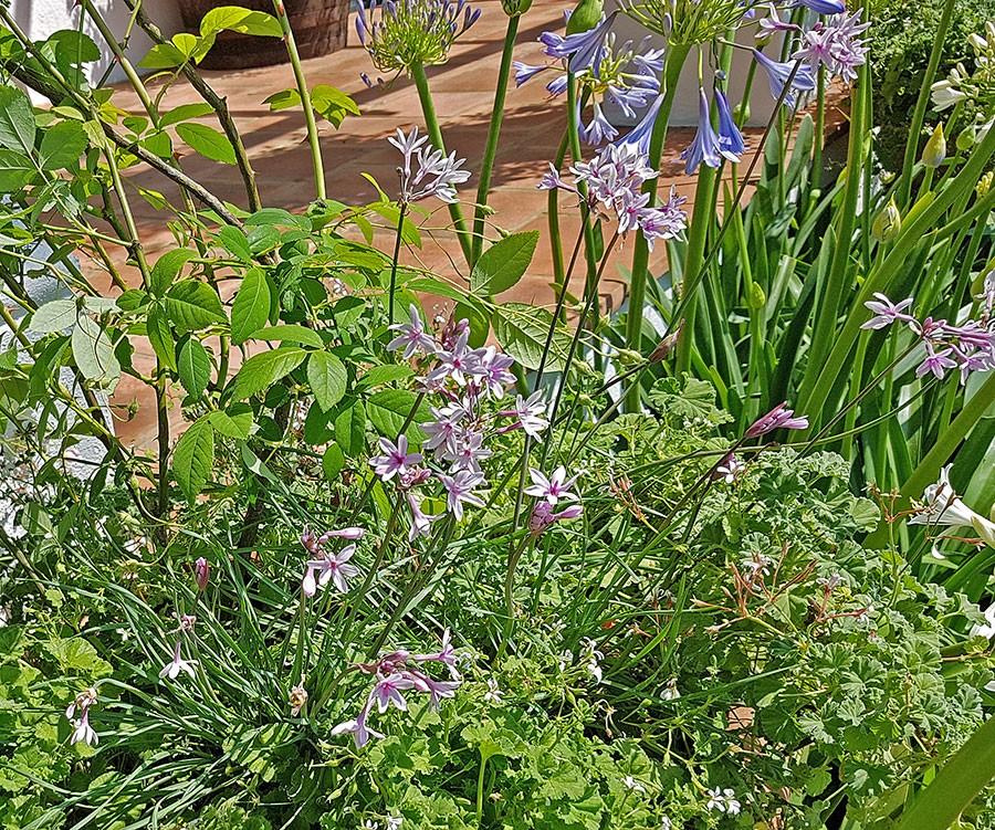 Thulbagia samplanterad med agapanthus i Jonathan Snows sydafrikaträdgård.  Foto: Kerstin Engstrand