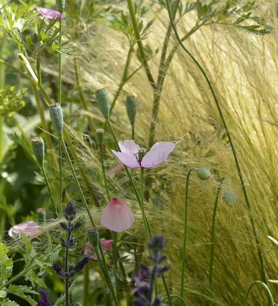 """Beth's vallmo i RHS:s  """"Fell Good"""" trädgård .  Foto: Kerstin Engstrand"""
