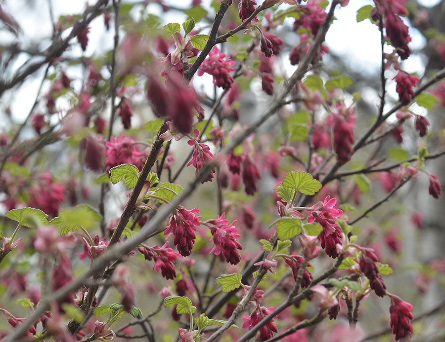 Olika nyanser av rosa blir det när busken håller på att slå ut. Foto: Kerstin Engstrand