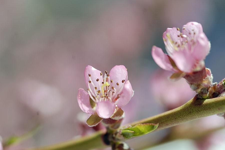 Söta, rosa och knubbiga är persikans blommor. Foto: Kerstin Engstrand