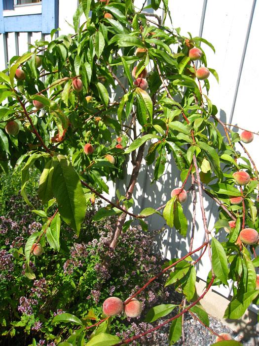 Lutad mot husväggen, i bästa sydvästläge och med ett hav av kryddor runt fötterna frodas persikoträdet. Foto: Kerstin Engstrand