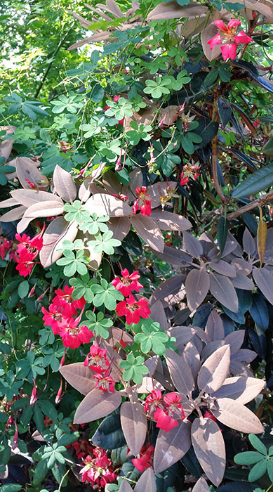 Eldkrassen är som gjord att växa tillsammans med rododendron. Foto: Kerstin Engstrand