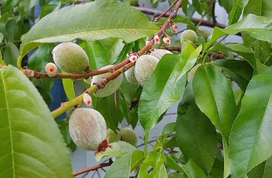 De kart som är små, de som är rödmarkerade, kommer persikoträdet att snart tappa. De stora kommer att utvecklas till fina persikor. Bra att komma ihåg att vattna trädet lite extra. Foto: Kerstin Engstrand
