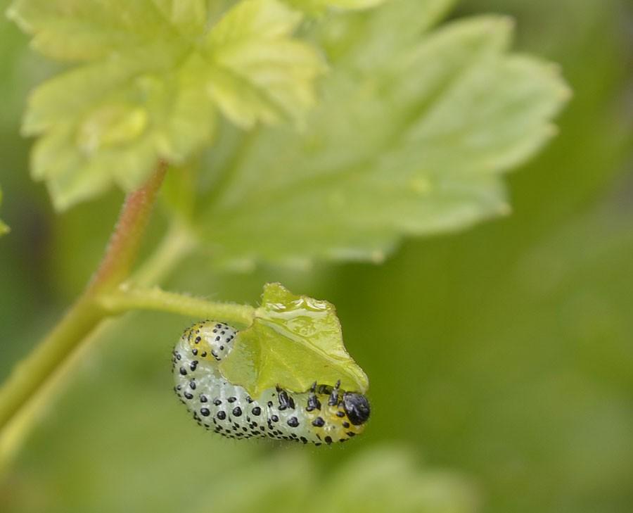 Fullvuxen larv. Foto: Kerstin Engstrand