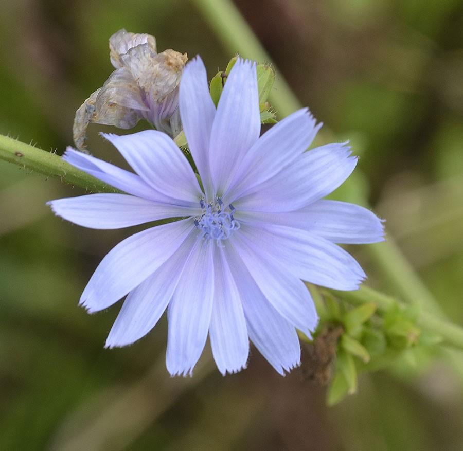Den är utsökt, cikorians blå blomma. Foto: Kerstin Engstrand