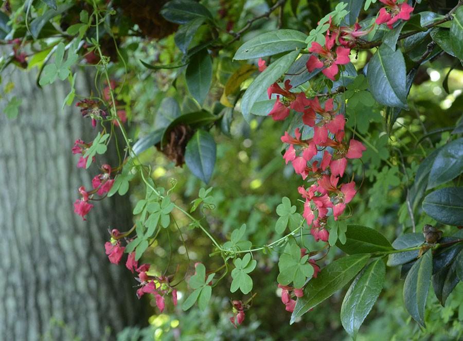Som ett halsband klättrar den lätt upp i gärna vintergröna växter. Foto: Kerstin Engstrand