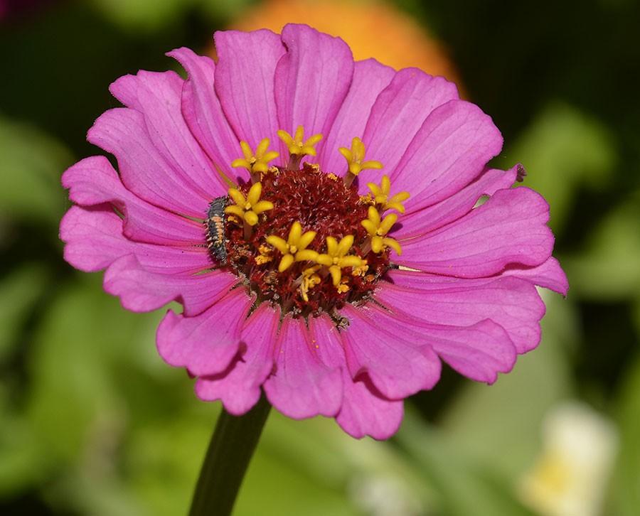 Är det ont om bladlöss äter nyckelpigans larver pollen istället. Pollen är också en viktig föda på våren. Larven ser du till vänster i zinniablomman. Foto: Kerstin Engstrand