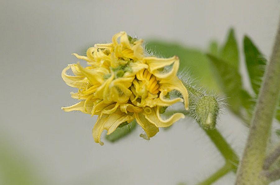 Självklart är även blomman annorlunda. Foto: Kerstin Engstrand