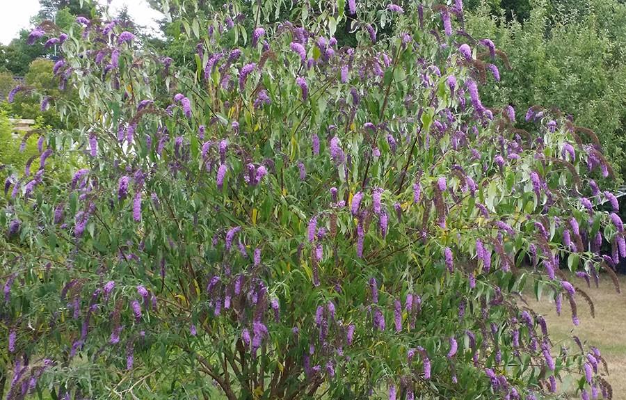 Blommande växter är viktiga för insekterna. De är viktiga att stödvattna så att växten klarar att producera nektar. Busken på bilden är en fjärilsbuske. Foto: Kerstin Engstrand