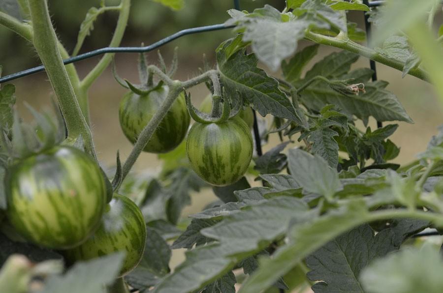 'Green Vernissage' är en grön tomatsort.  Foto: Kerstin Engstrand