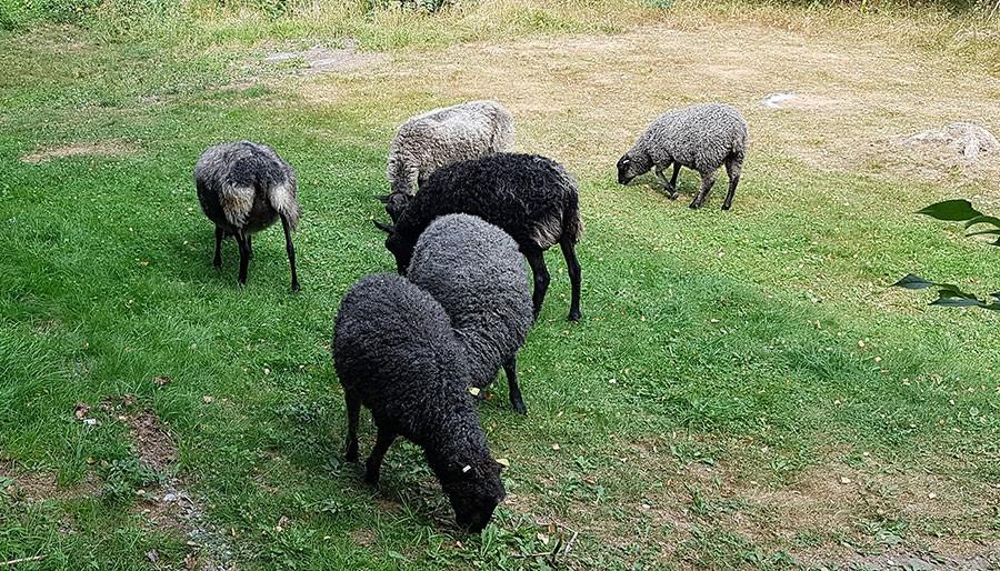 Gräsmattan ska varken klippas eller vattnas. Dock växer gräset bättre där det är skugga.  Foto: Kerstin Engstrand