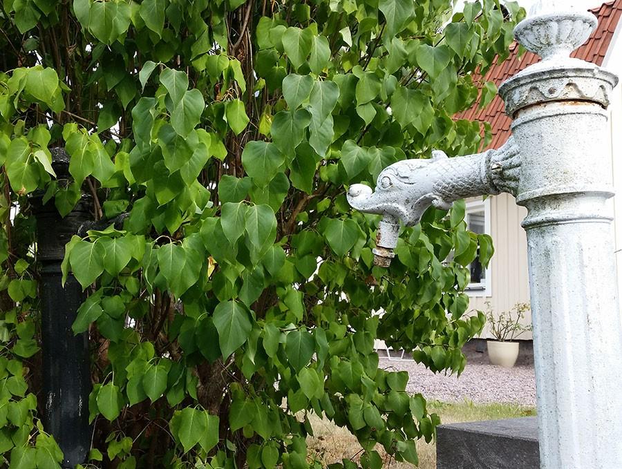 Mellan vvå gamla vattenpumpar växer denna syren. Den flämtar i värmen!   Foto: Kerstin Engstrand