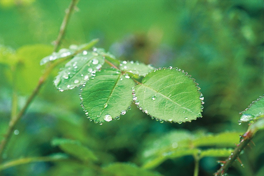 En dröm för många sommaren 2018, att rosens blad ska få kantas av regndroppar. Foto: Kerstin Engstrand
