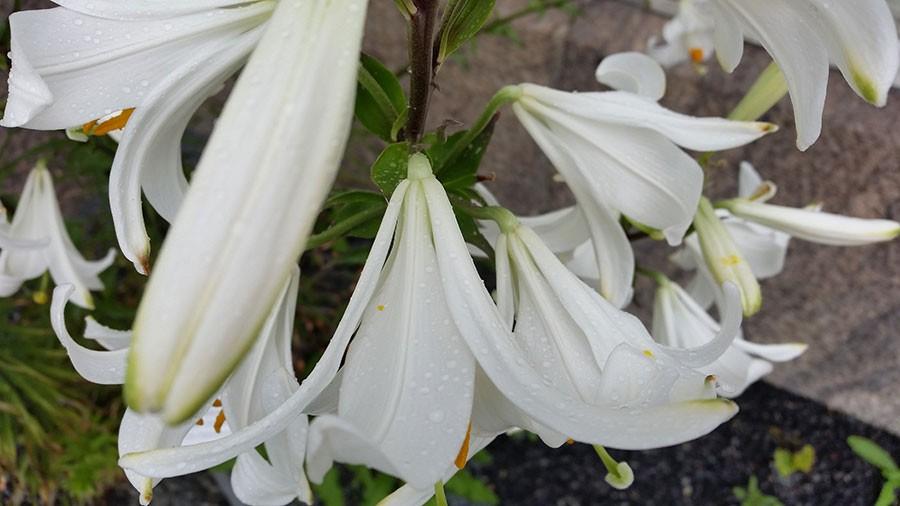 Knopparna har först en lätt ton av grönt innan de blir lika bländande vita som blomman. Foto: Kerstin Engstrand