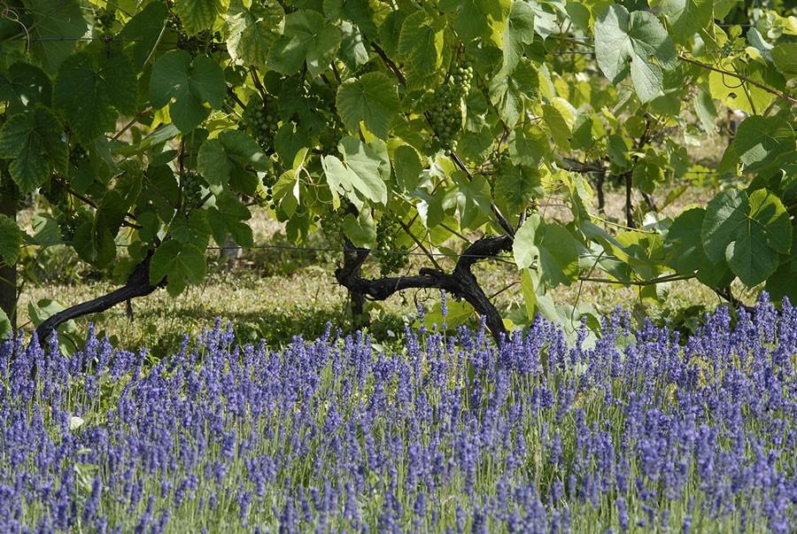 Vin klarar torka bra om det är rätt bevattnat vid planteringen. Lavendeln är ytterst torktålig. Foto: Kerstin Engstrand