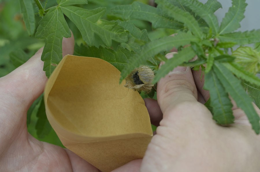 Timvisarens frö är här på väg att samlas in i ett kuvert. Foto: Kerstin Engstrand