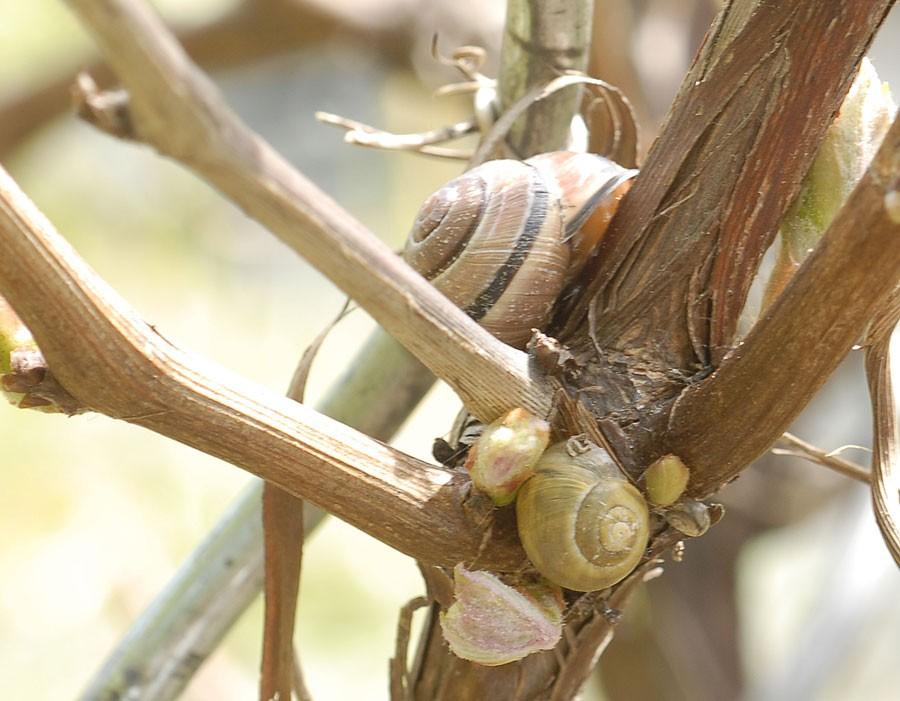 Snäckor går gärna upp på vinrankan men skadar den inte. Foto: Kerstin Engstrand