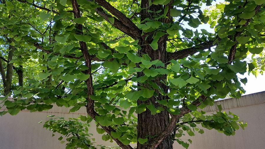 Elegant är ginkgoträdet. Ytterst elegant. Foto: Kerstin Engstrand