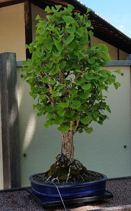 Denna bonsai av sorten 'Chi-Chi' är 45 år gammalt.  Den finns i Montreals botaniska trädgård.  Foto: Kerstin Engstrand