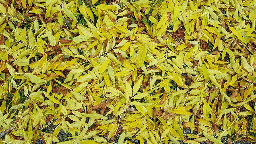 Askens blad faller först av alla på hösten. De är lätta att känna igen, de är flikiga som ett k. Foto: Kerstin Engstrand