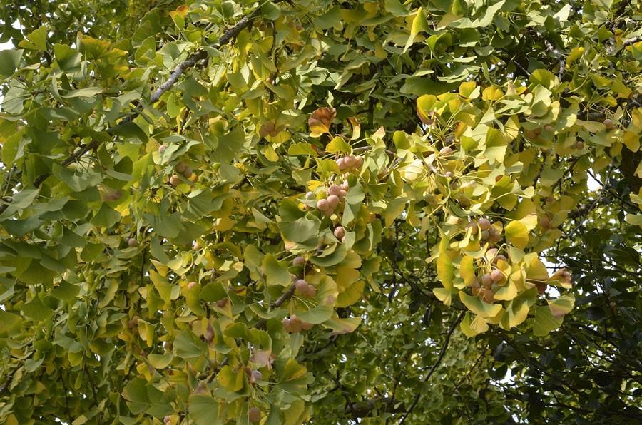 Honträd fullt av frukter. Foto: Kerstin Engstrand