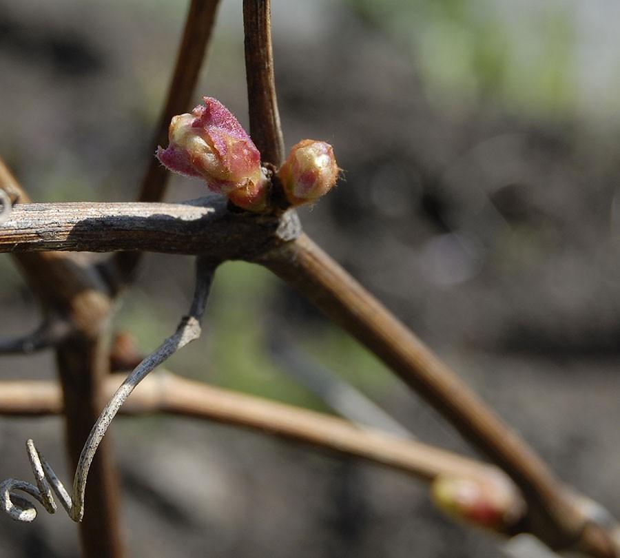 Maj månad och bladknopparna håller på att svälla. Foto: Kerstin Engstrand