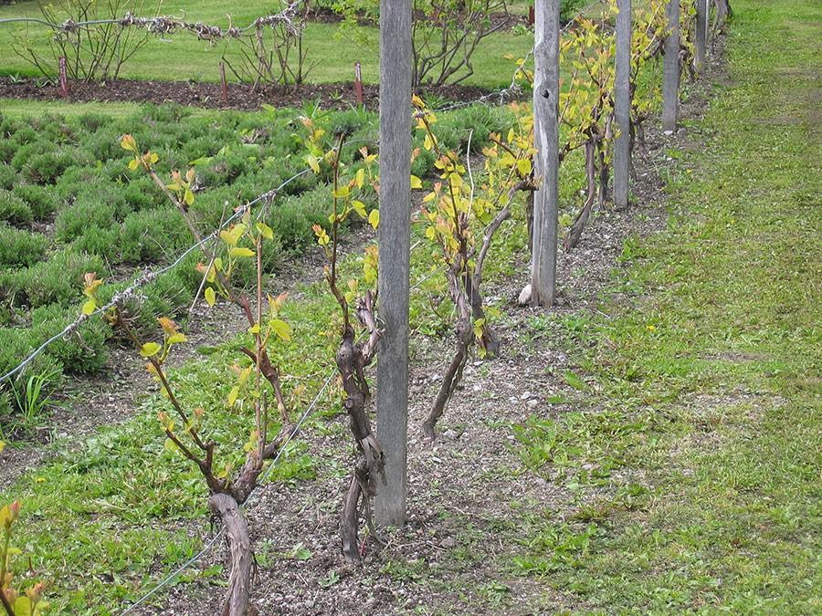 Vin tål att beskäras hårt. Foto: Kerstin Engstrand