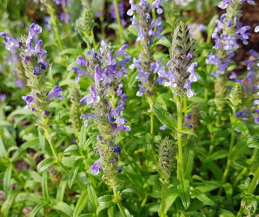 Och när blommorna slår ut är de ovanligt blå. Blåa växter är svårt att få rätt färg på bild, i verkligheten har de en metallisk skimrande blå färg. Foto: Kerstin Engstrand