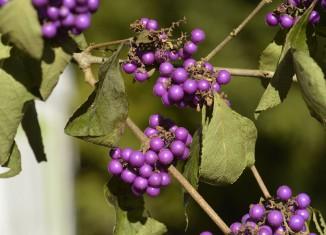 Vad är det för buske med lila bär 2fae9ad5b35ca
