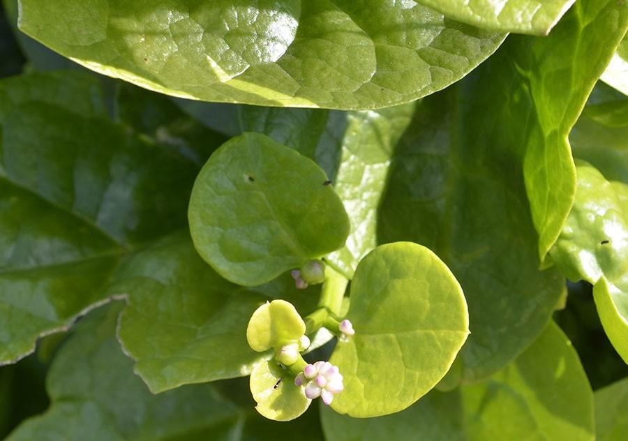 Malabarspenat, den gröna är bäst. Foto: Kerstin Engstrand